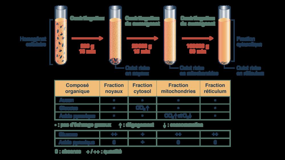 Expérience permettant de localiser les étapes de la respiration cellulaire