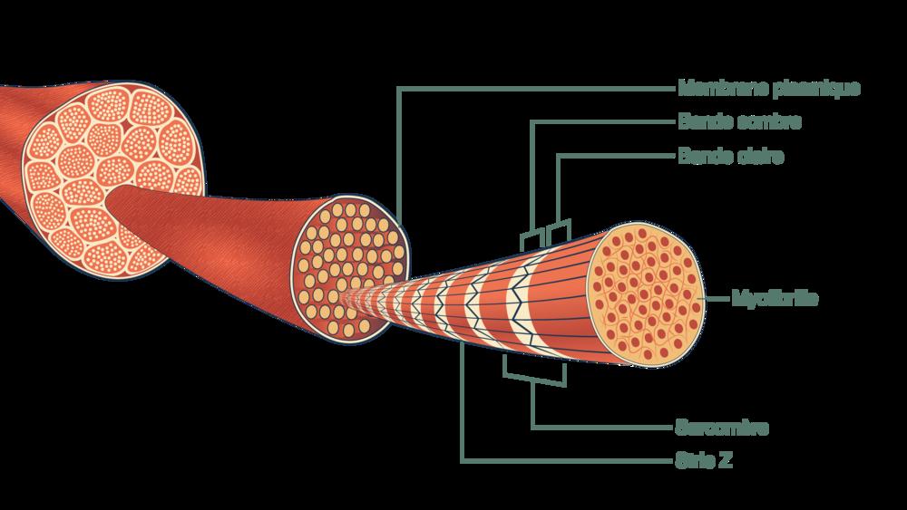 Fragment d'une cellule musculaire