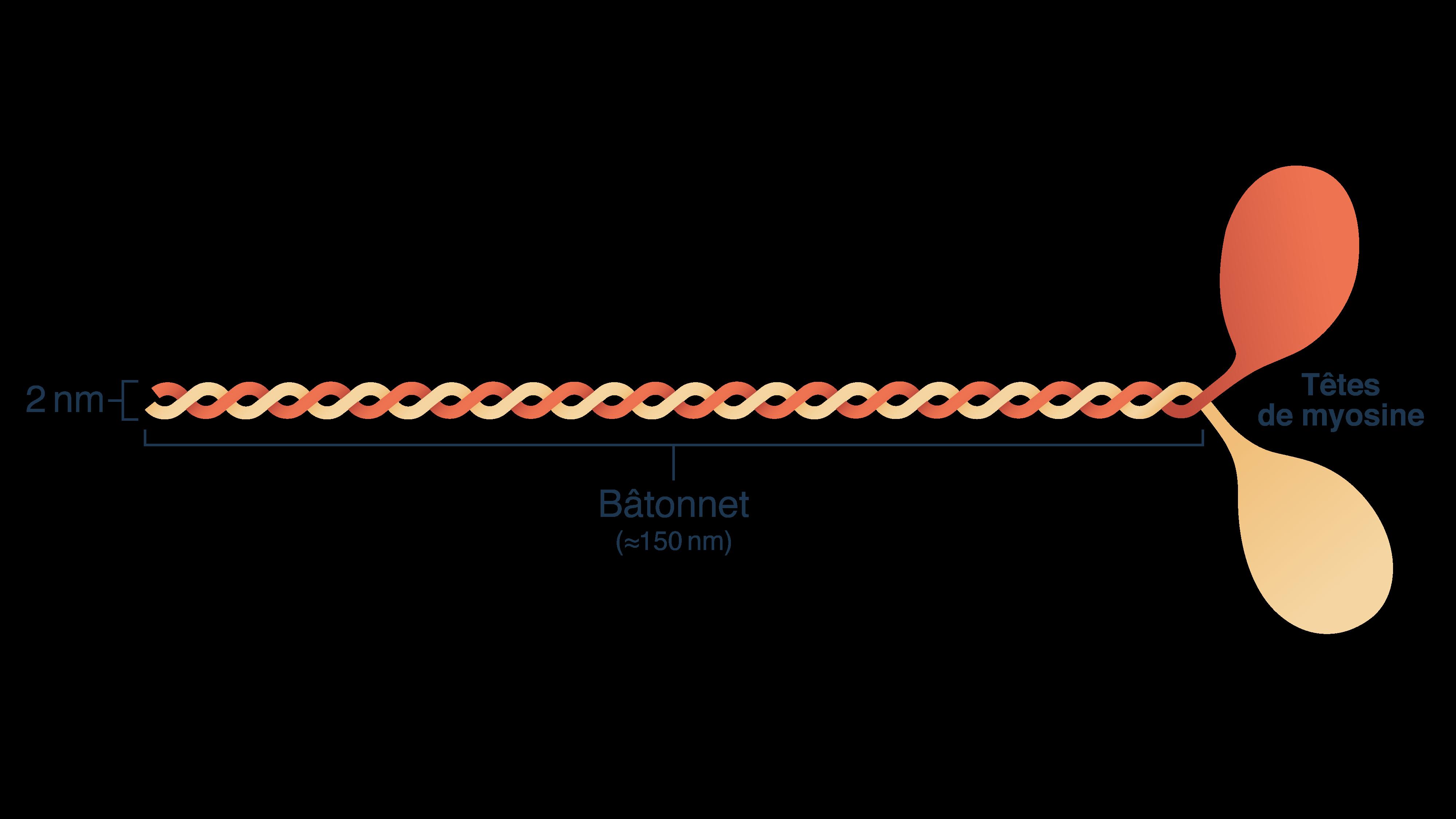 Têtes de myosine