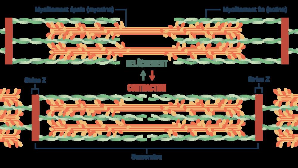 Mécanisme de mouvement des myofilaments