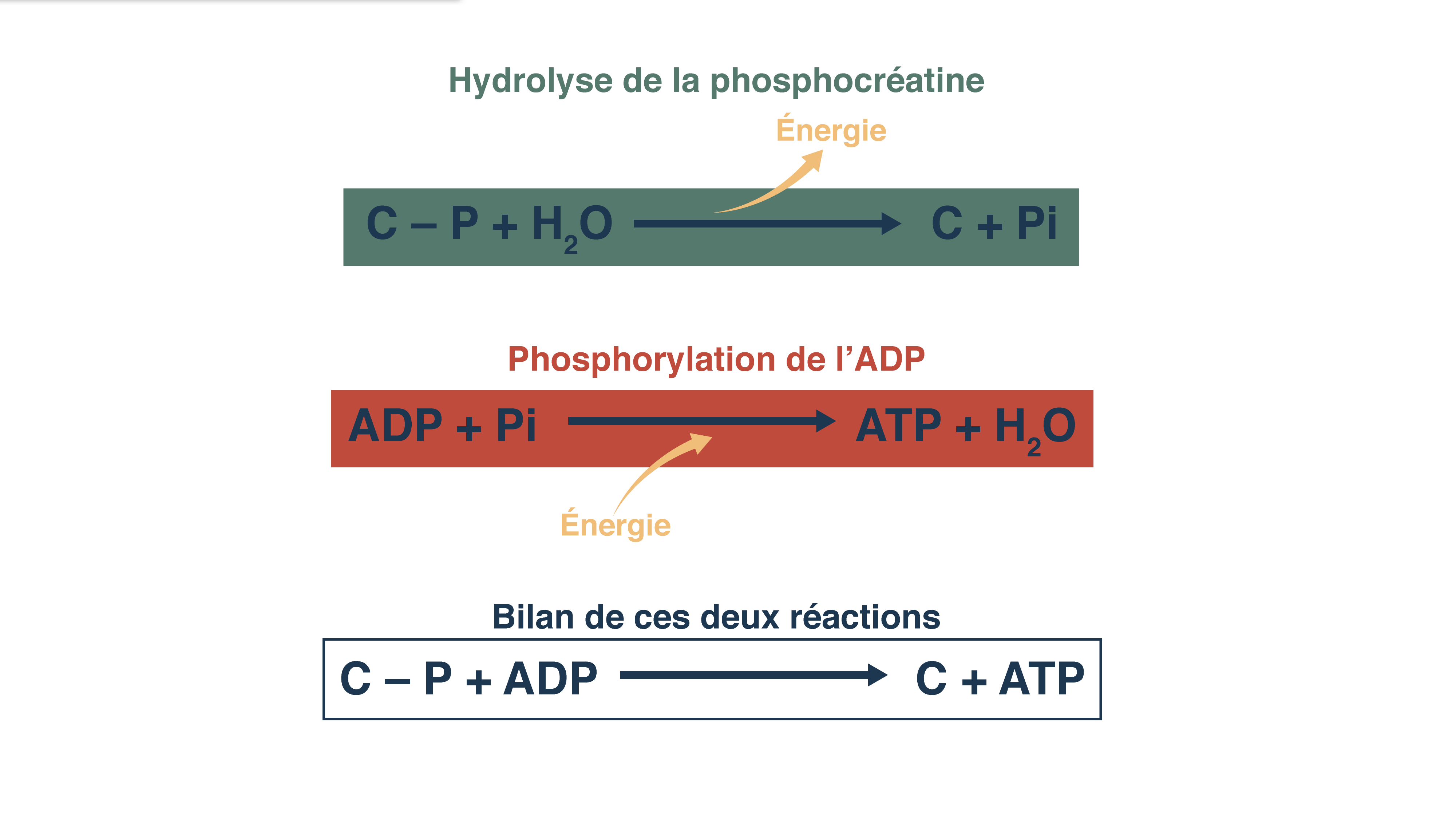 Réaction de phosphocréatine et phosphorylation