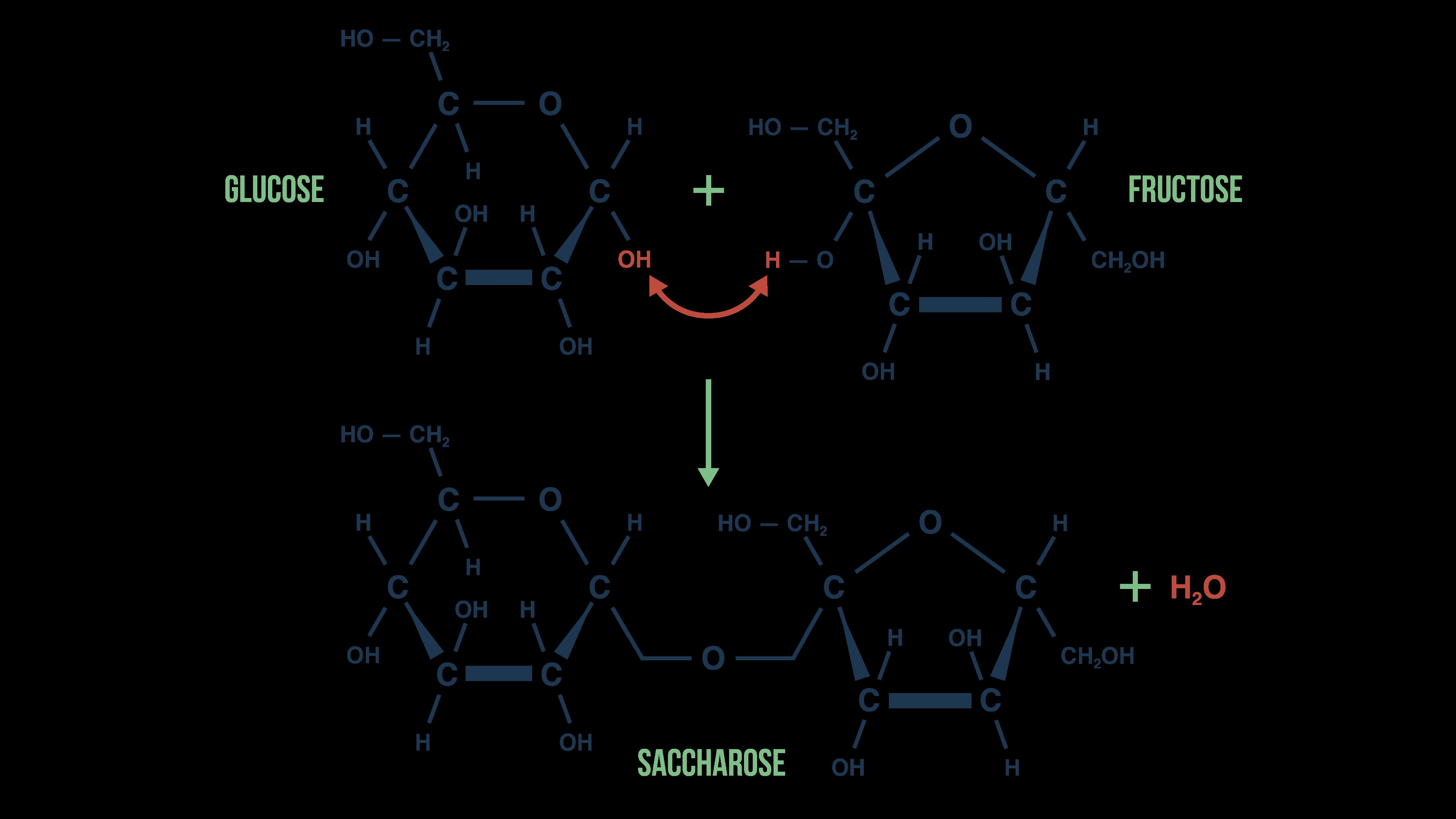 Assemblage des molécules du saccharose