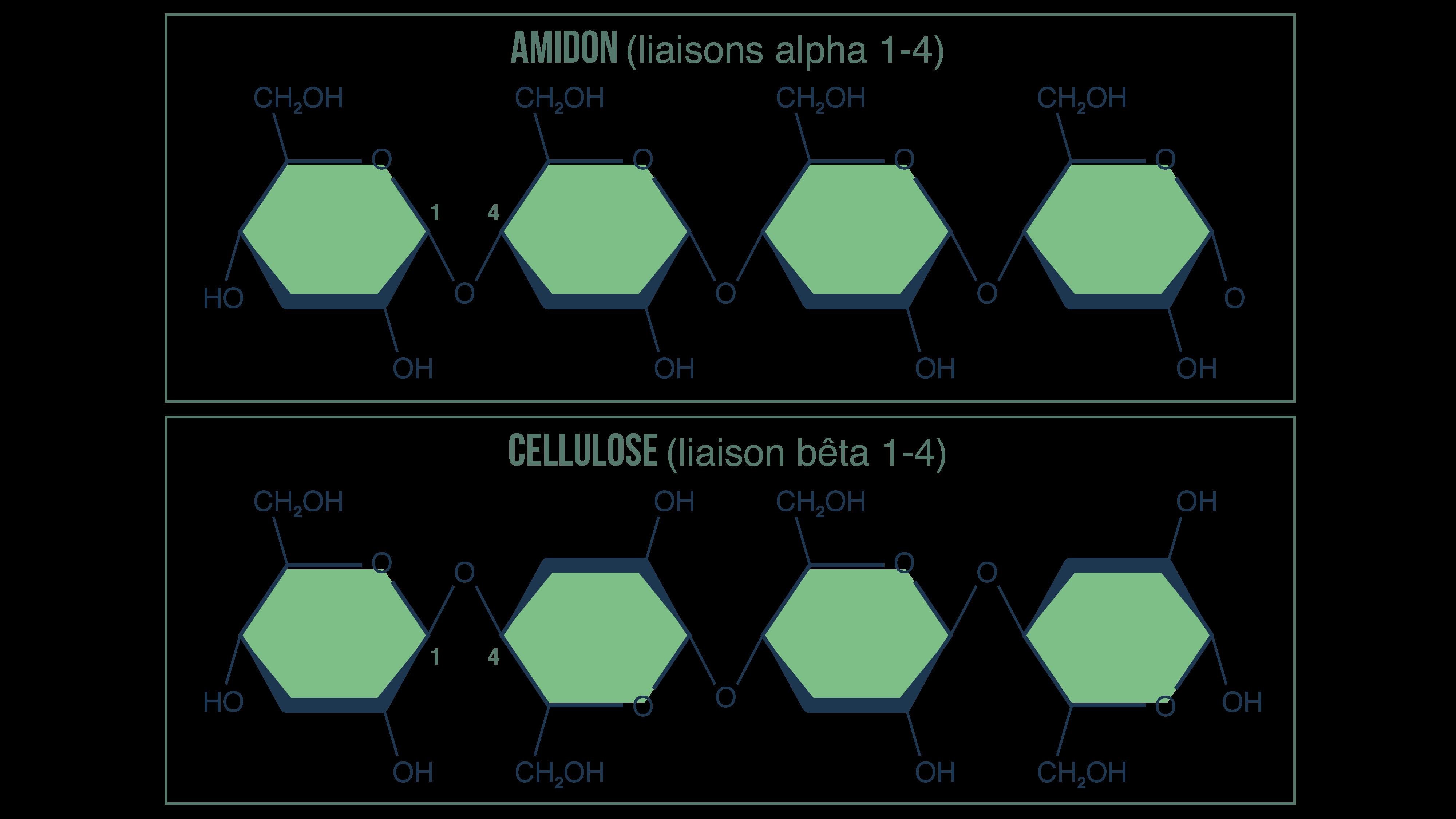 Liaisons alpha1 - 4 et bêta1 - 4