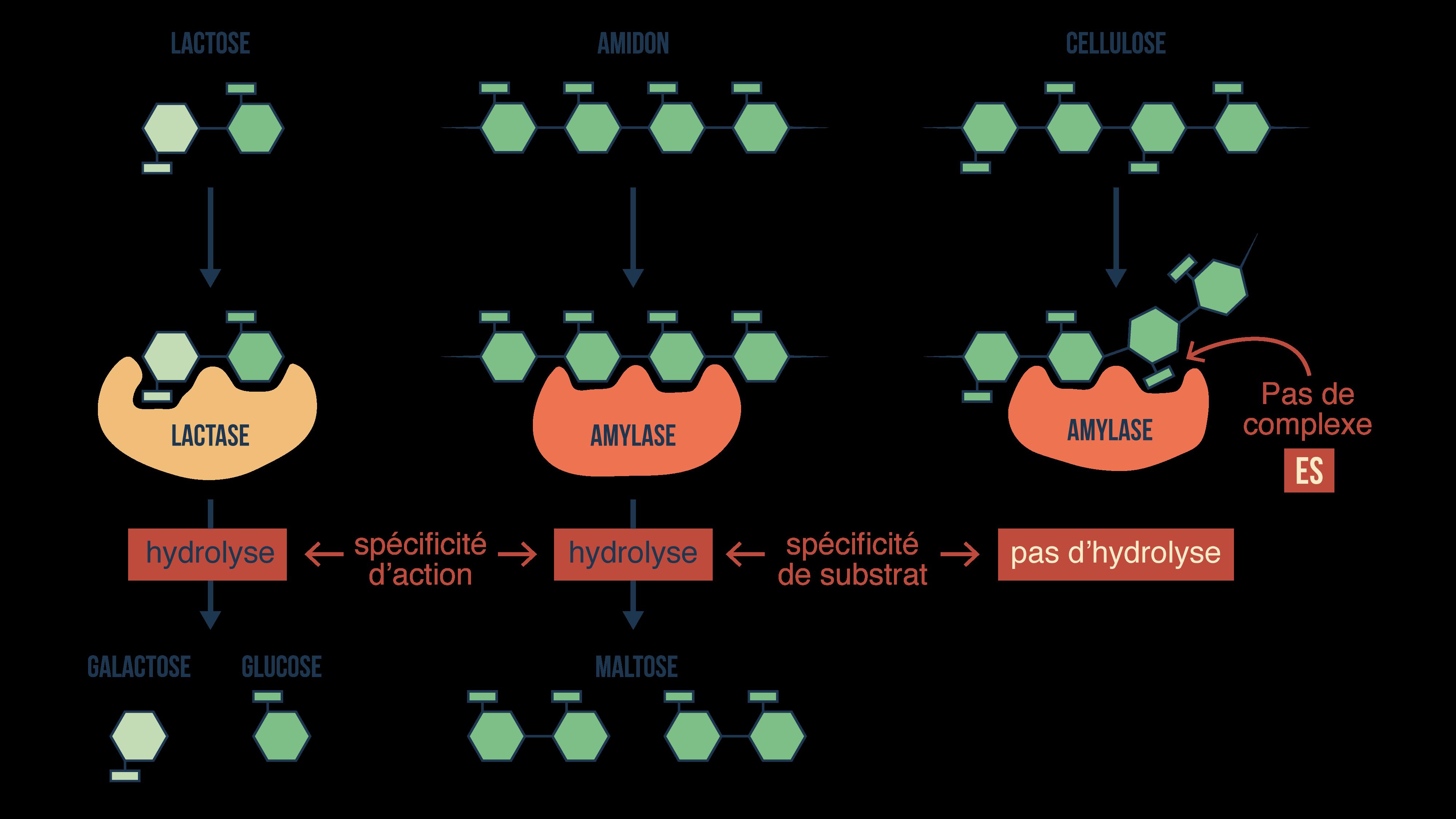Spécificités des enzymes digestives
