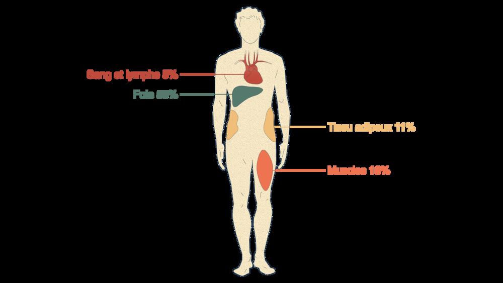 Mesure du glucose 2heures après ingestion de glucose radioactif