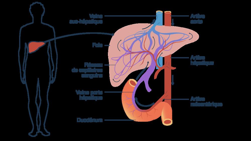 Schéma du fonctionnement du foie