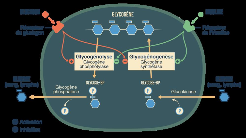 Fonctionnement des cellules du foie