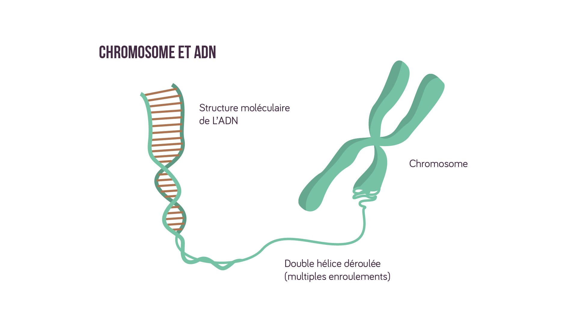 Chromosome et ADN