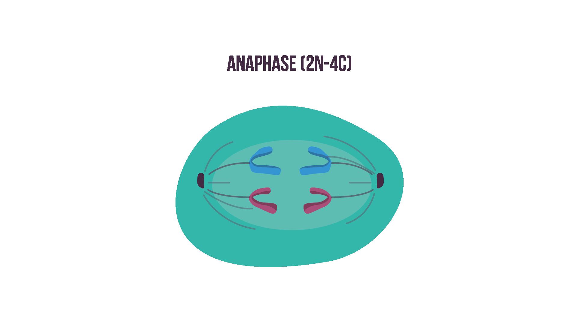 L'anaphase
