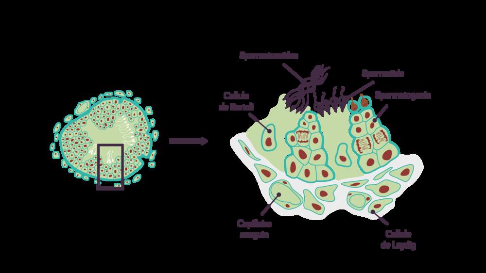 Plusieurs sortes de cellules se trouvent dans le tube séminifère