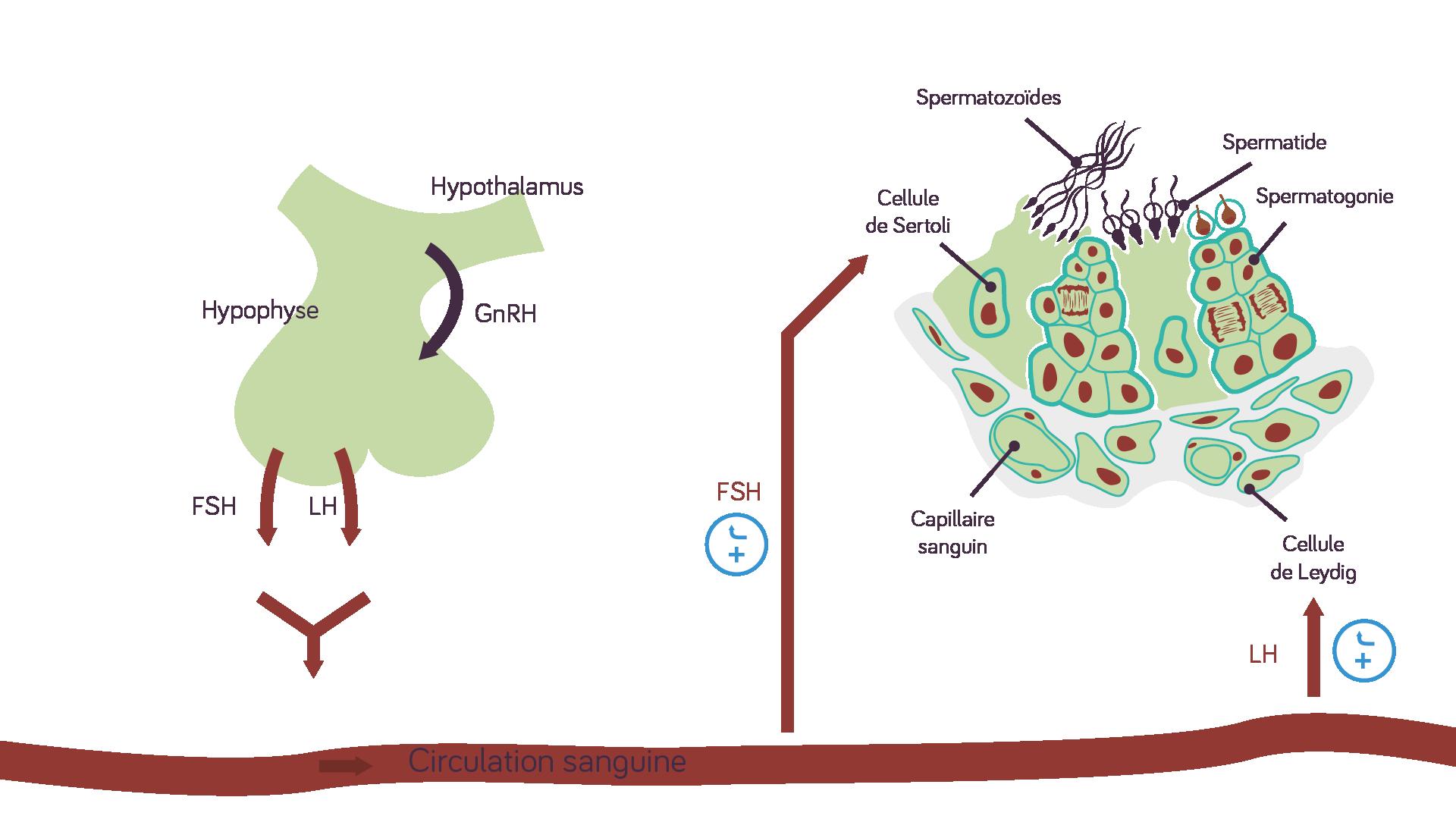L'hypothalamus sécrète une neurohormone qui agit sur la fonction endocrine de l'hypophyse