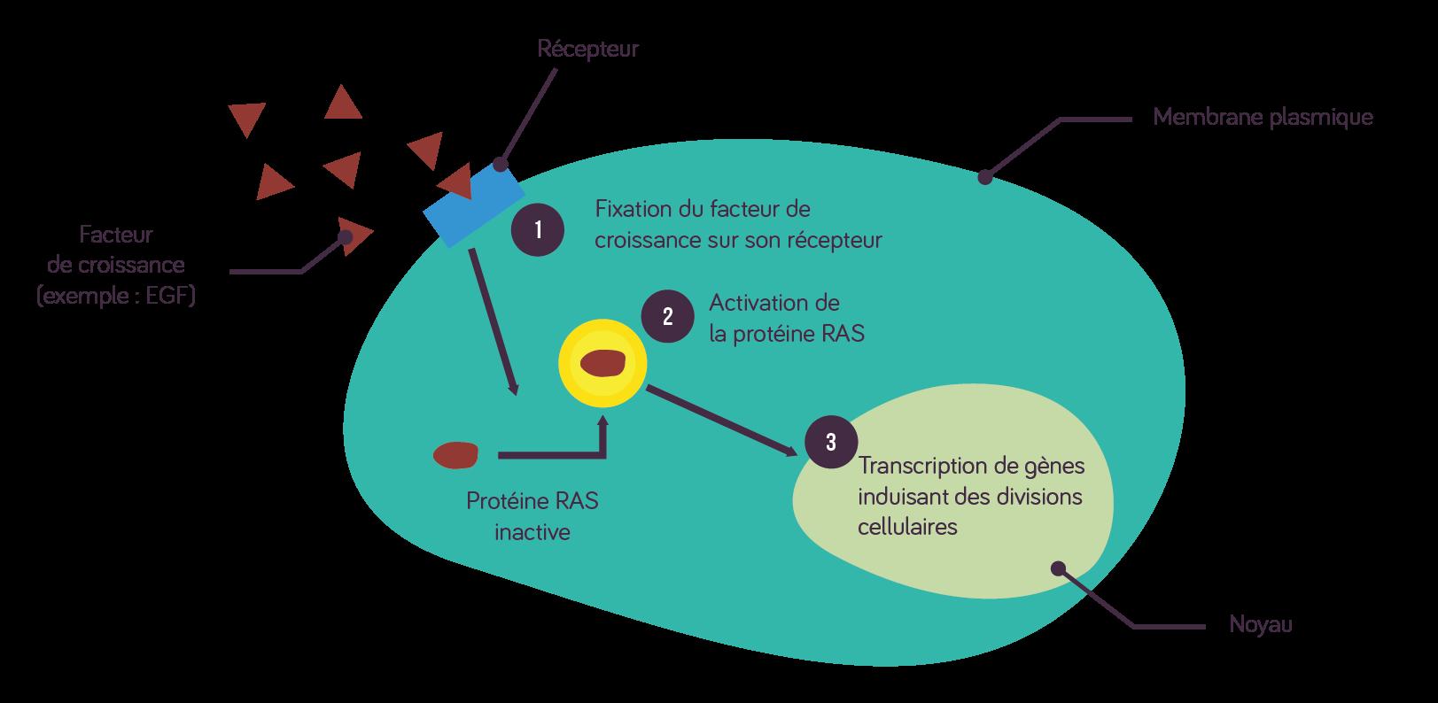 La prolifération d'une cellule dépend de signaux extérieurs