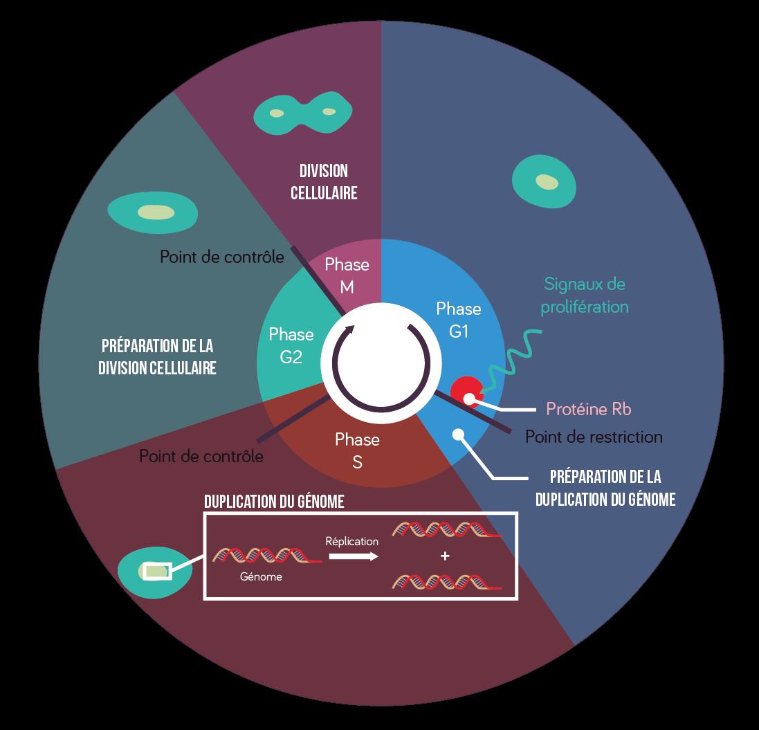Cycle cellulaire détaillé