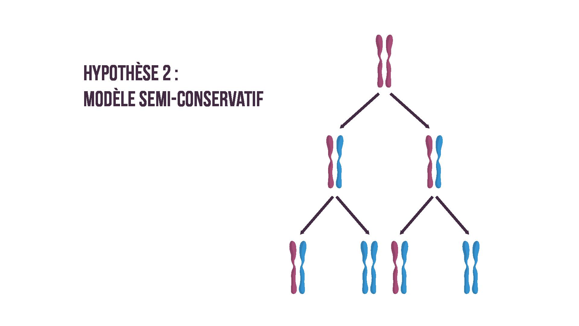 Réplication semi-conservative de l'ADN