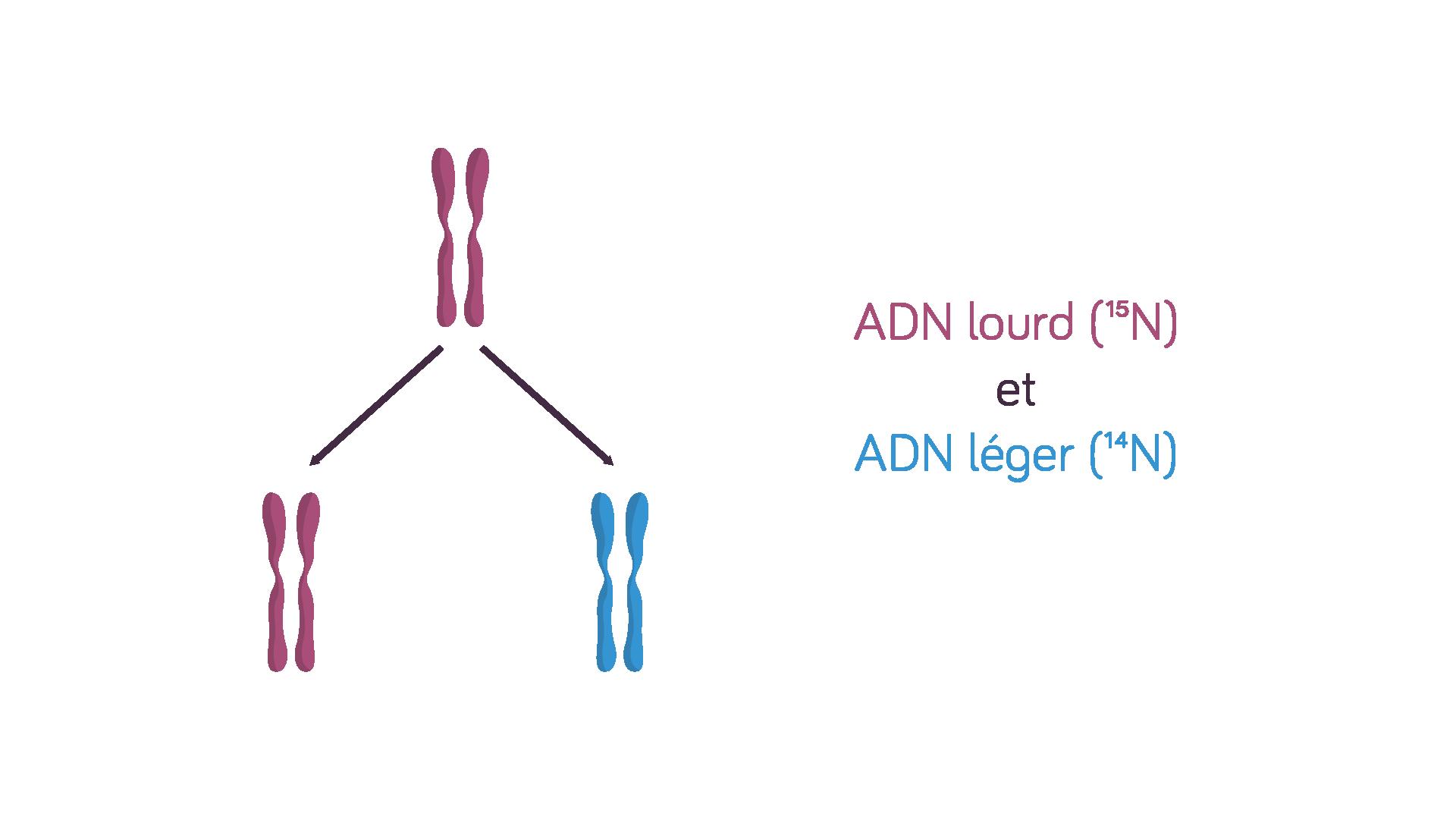 Molécules d'ADN lourdes et légères