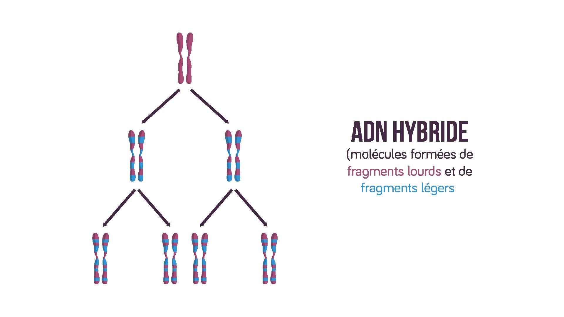 Molécules d'ADN hybride avec réplication dispersive