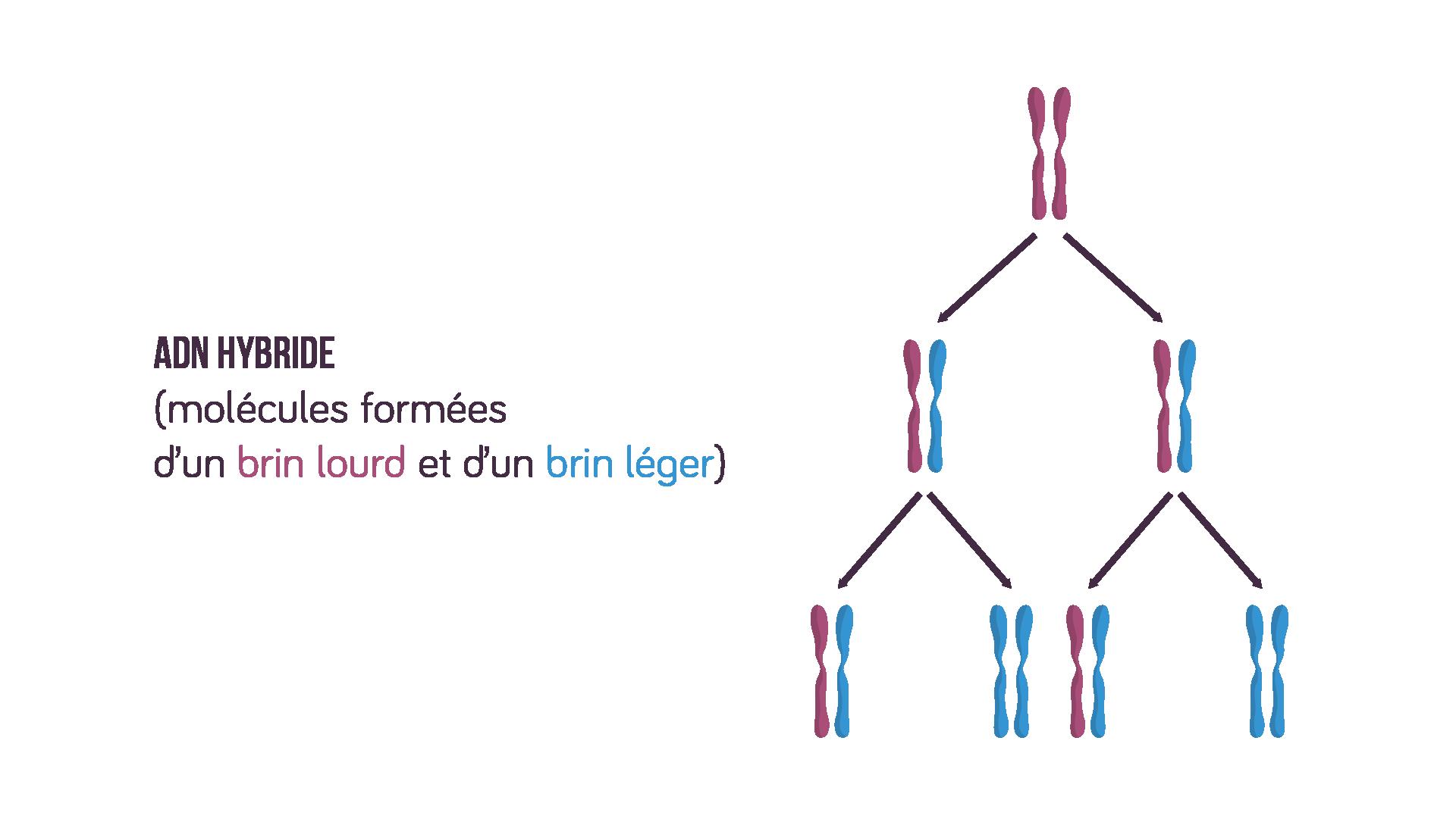 Molécules d'ADN hybride avec réplication semi-conservative