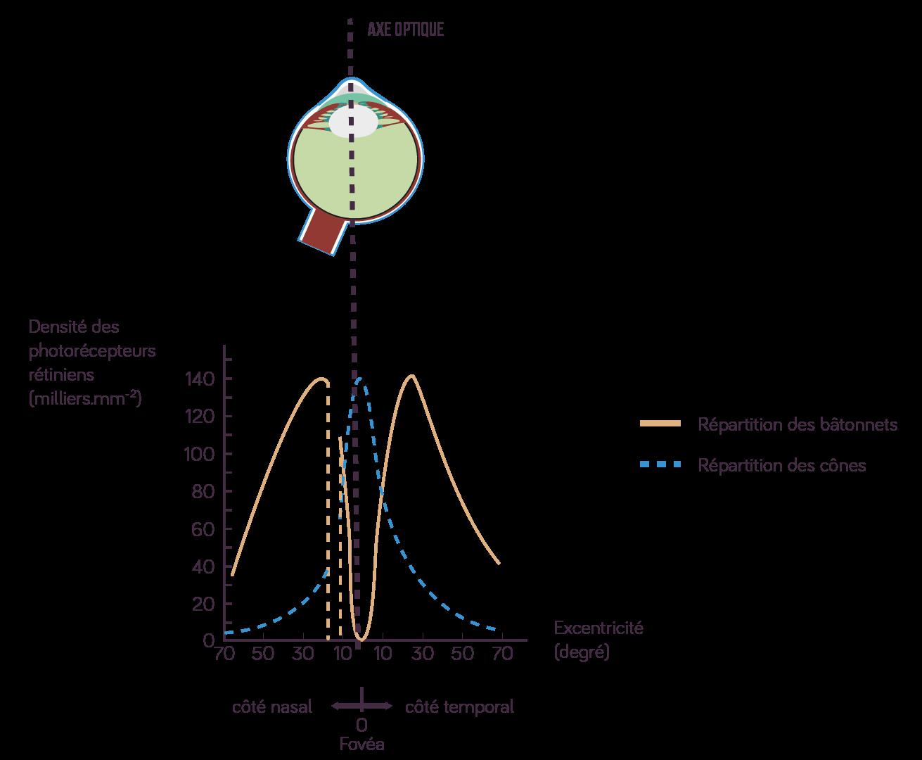 Densité de photorécepteurs rétiniens en fonction de l'excentricité