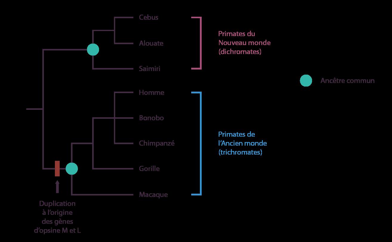Arbre phylogénétique des primates du Nouveau et de l'Ancien monde