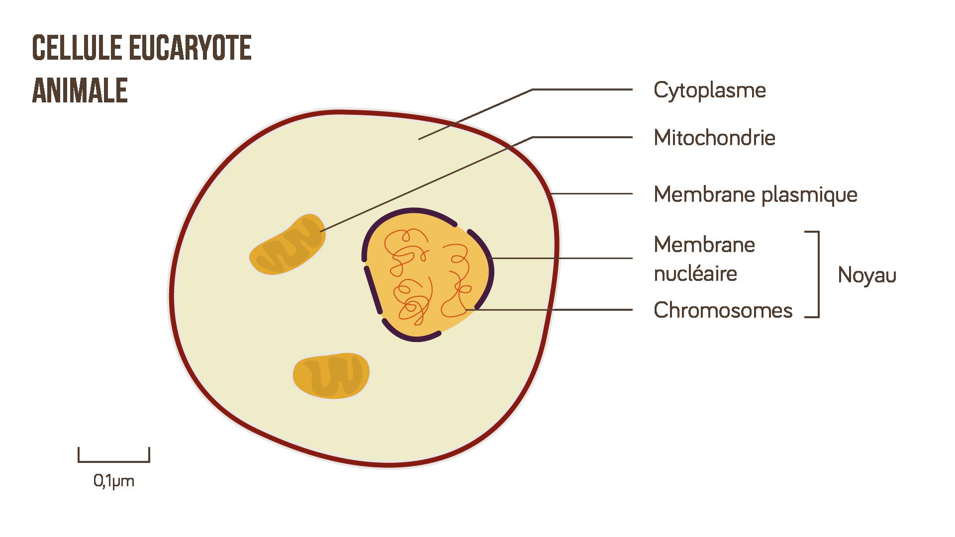 Cellule eucaryote