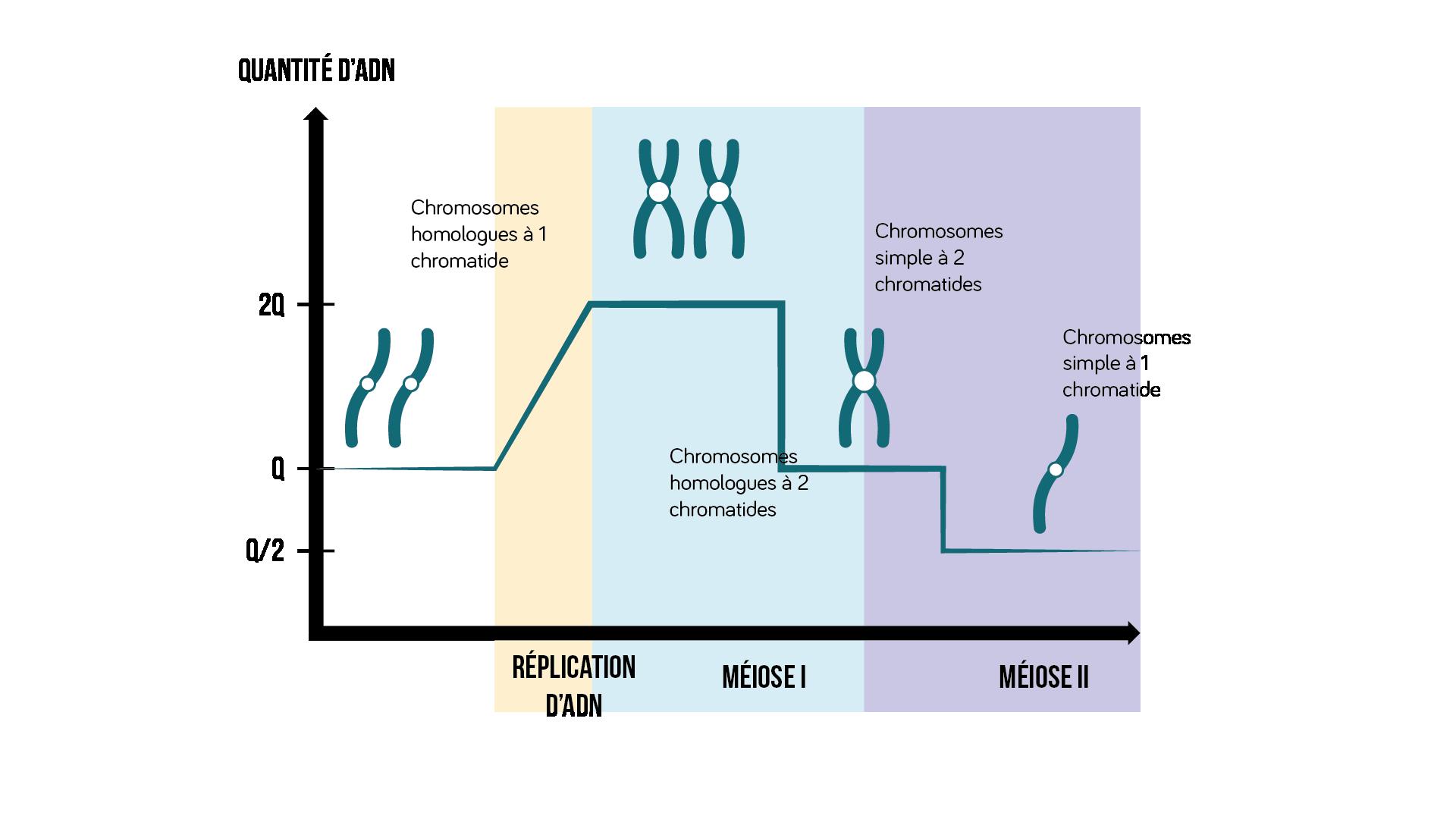 Les différentes étapes de la méiose