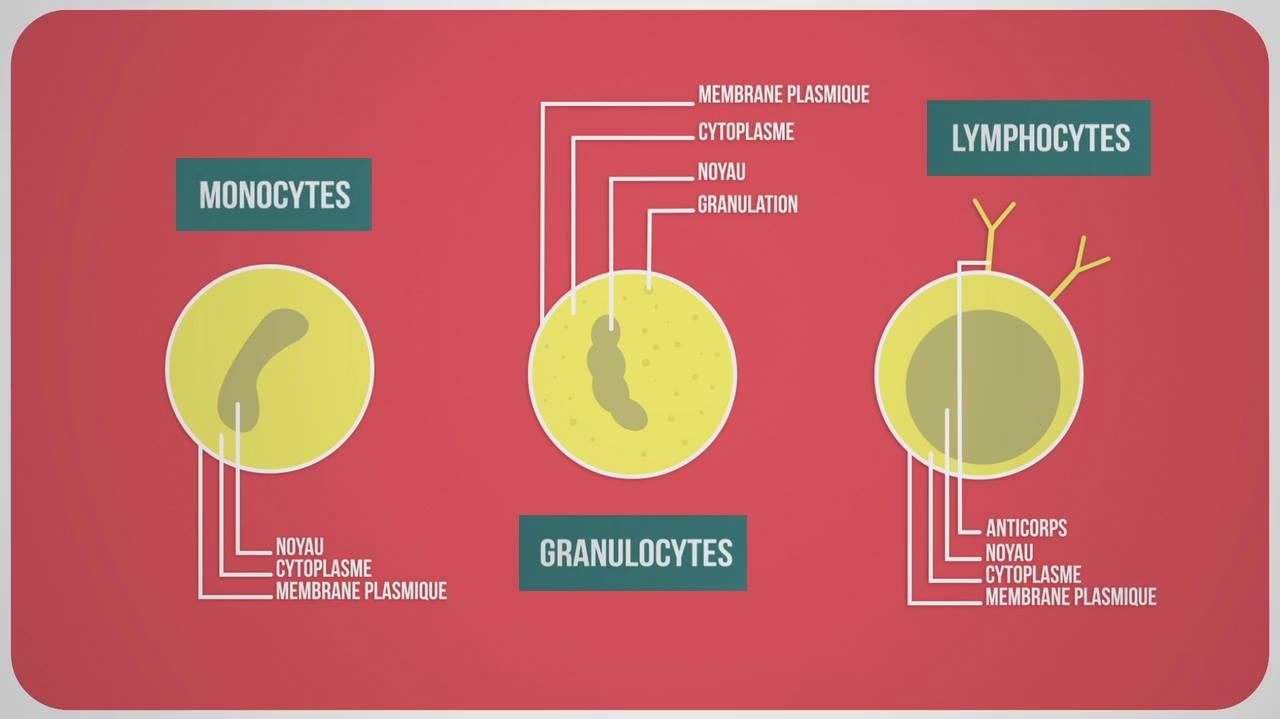 Schéma des types de globules blancs