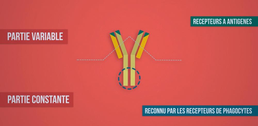 Schéma d'un anticorps