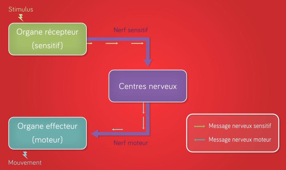 Schéma de transmission d'un message nerveux