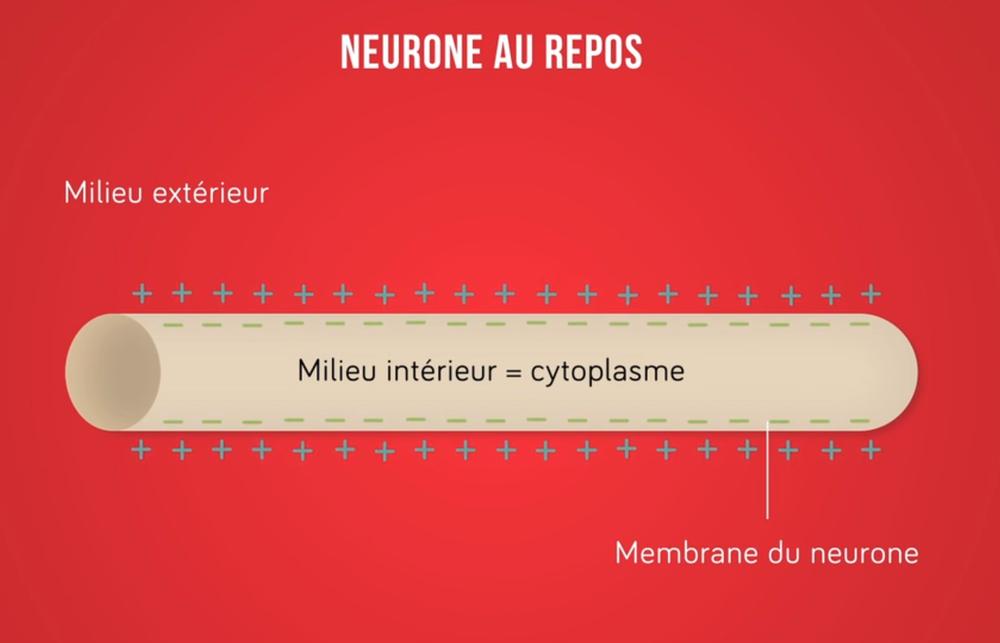 Schéma d'un neurone au repos