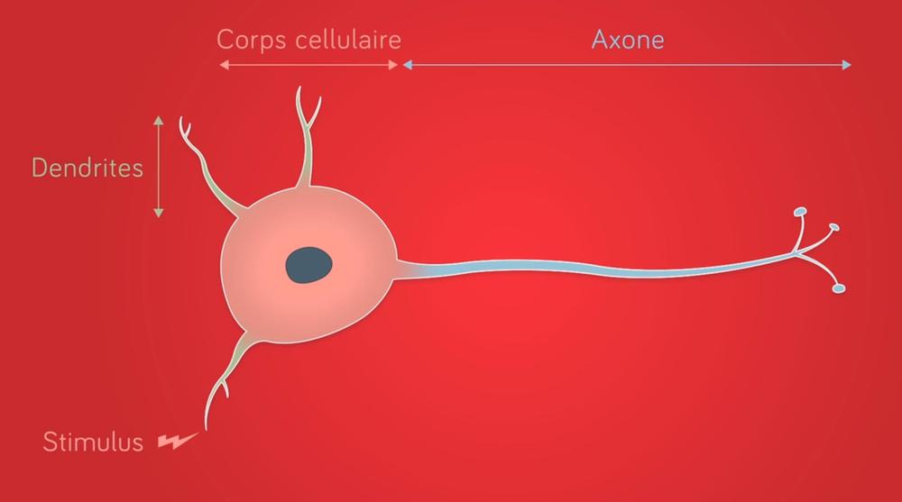 Schéma d'une neurone stimulé