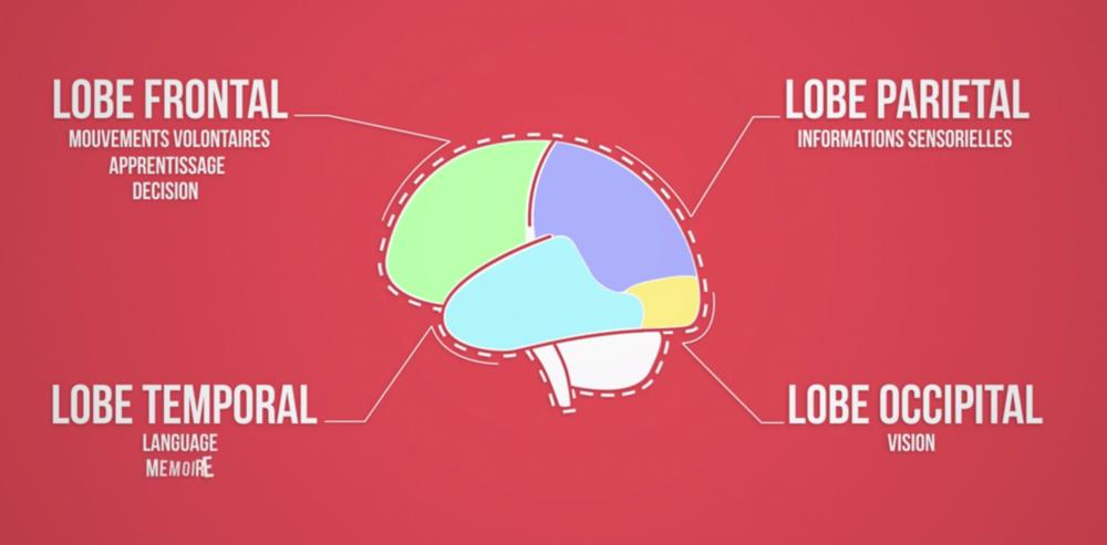 Les lobes du cerveau