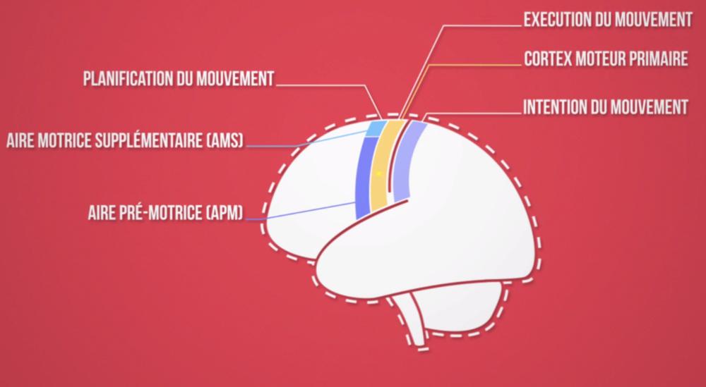 Le cortex moteur