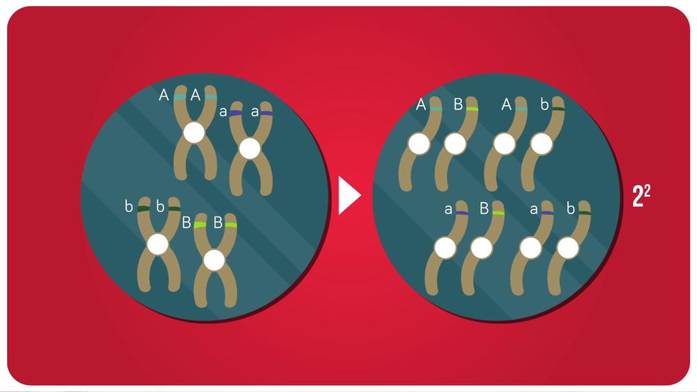 Méiose de deux paires de chromosomes