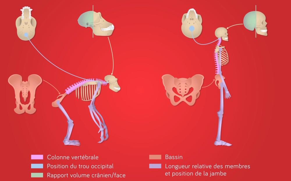 Schéma des différences anatomiques entre Homme et Chimpanzé