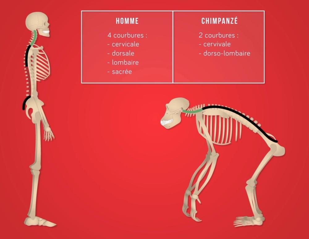 Schéma de la colonne vertébrale de l