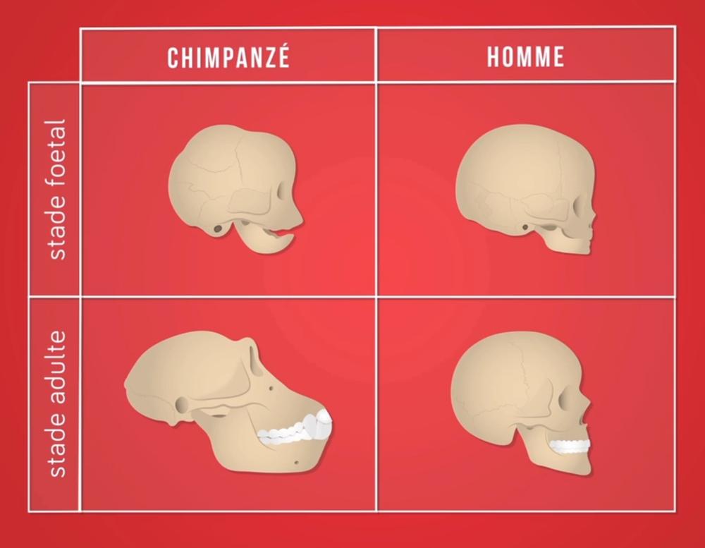 Différences de développement entre le crâne humain et chimpanzé