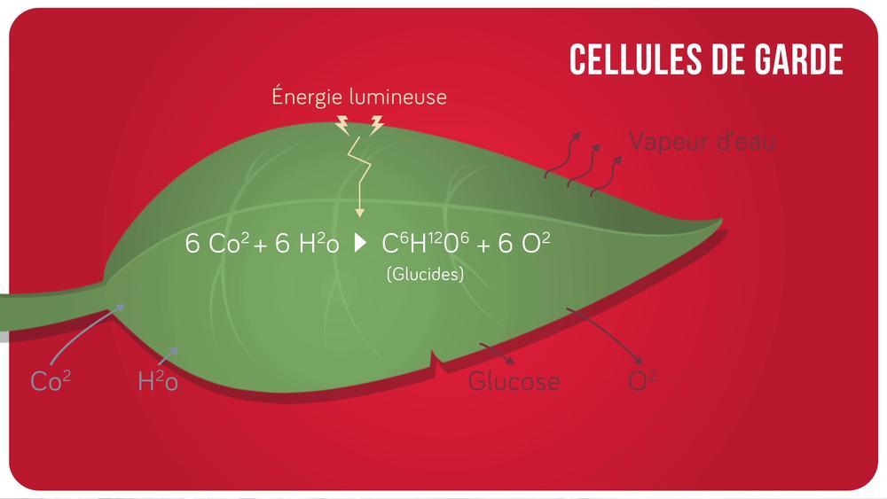 Schéma de la photosynthèse