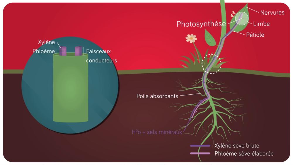 Schéma de la circulation de la matière dans une plante