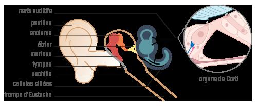 Composition oreille-physique-chimie-terminale-s